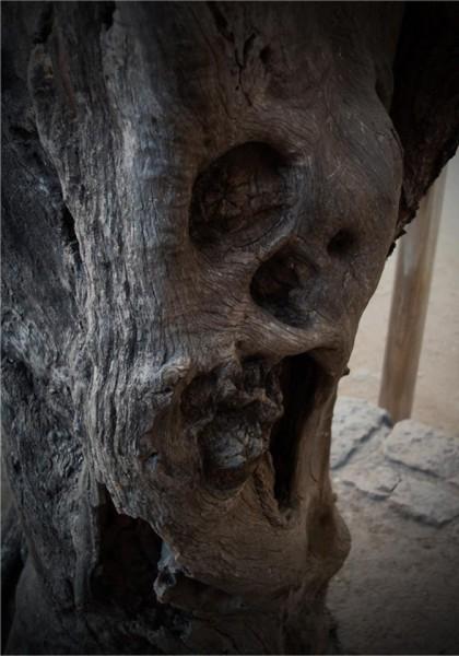 Alter Olivenbaum, dessen Borke verschurft ist, sodass es aussieht als würde er schreien