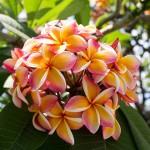 Blütenballen