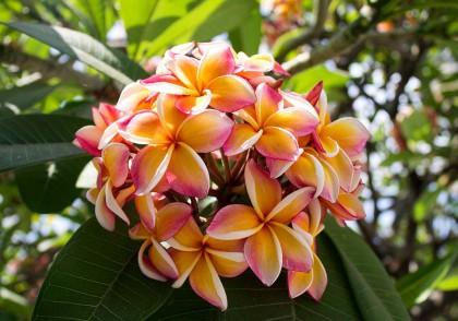 Wunderschöner exotischer Blütenballen. In Thailand aufgenommen.